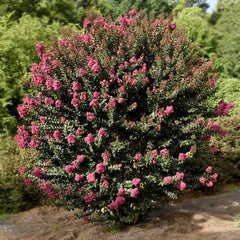 Plum Magic™ Semi-Dwarf Crape Myrtle - First Editions®