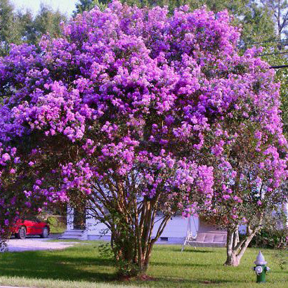 'Catawba' Purple Crape Myrtle Tree