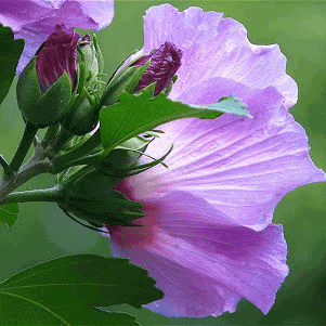 Purple Rose of Sharon (Double Bloom)