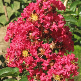 'Dynamite' Red Crape Myrtle Tree