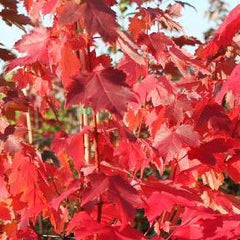Somerset Red Maple