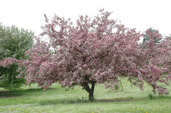Robinson Crabapple Tree