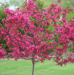 Show Time™ Crabapple