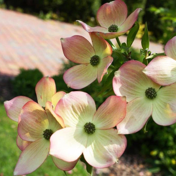Hybrid Pink Dogwood (Compare to Stellar Pink®)