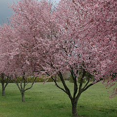Thunder cloud plum blooms pink white