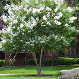 'Natchez' White Crape Myrtle Tree