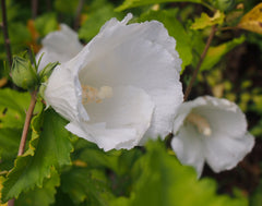 White Rose of Sharon