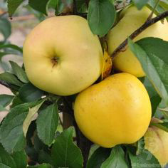 Yellow Delicious Apple Tree