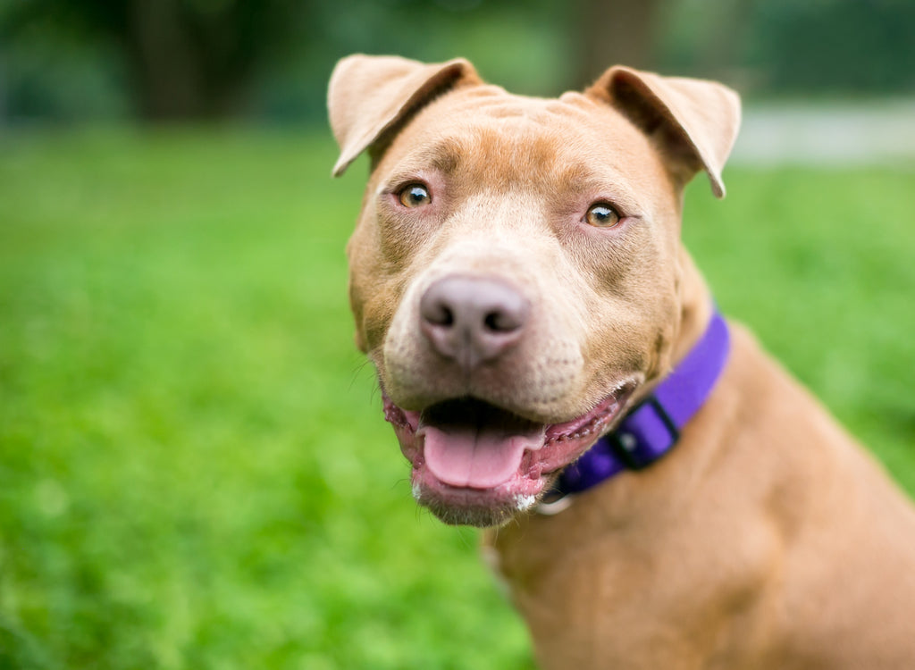 Top 5 Common Myths About Pit Bulls