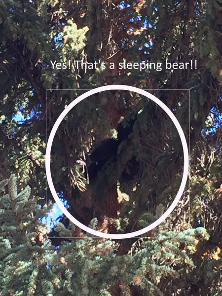 Bear in the tree outside where we ate breakfast Lake City Colorado