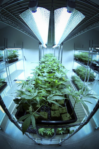 Indoor Grow Room with vertical gardening racks for cannabis cultivation