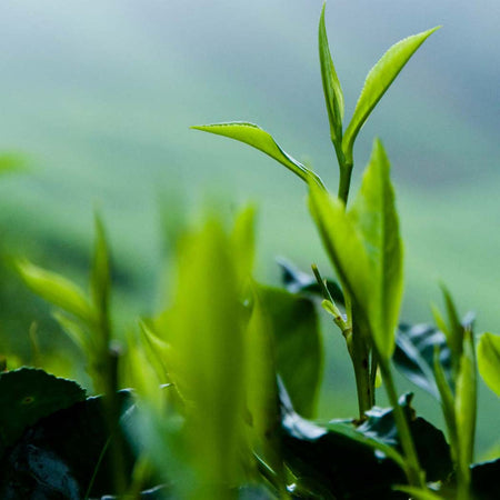 Wild about Green Tea