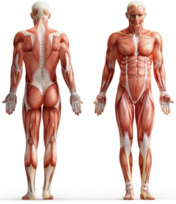 What are the types and functions of our muscles? | HEALTH