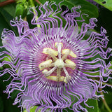 Passion Flower Purple Hybrid - Creepers & Climbers