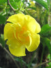 Allamanda Yellow Double - Creepers & Climbers - Exotic Flora