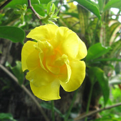 Allamanda Yellow Double - Creepers & Climbers