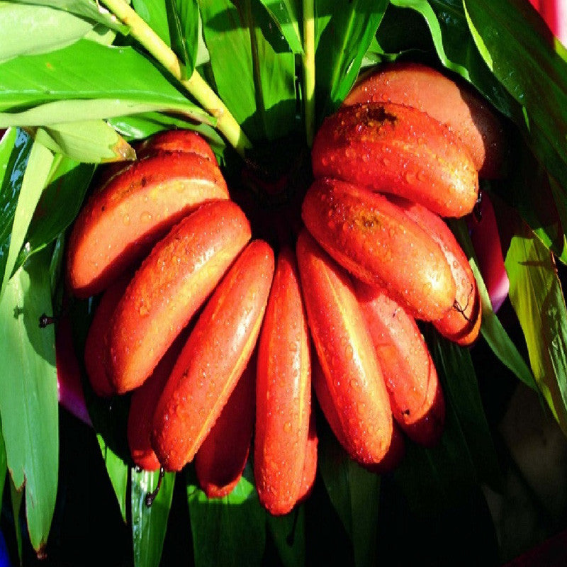 Red Banana/Red Chakrakeli - Fruit Plants & Tree