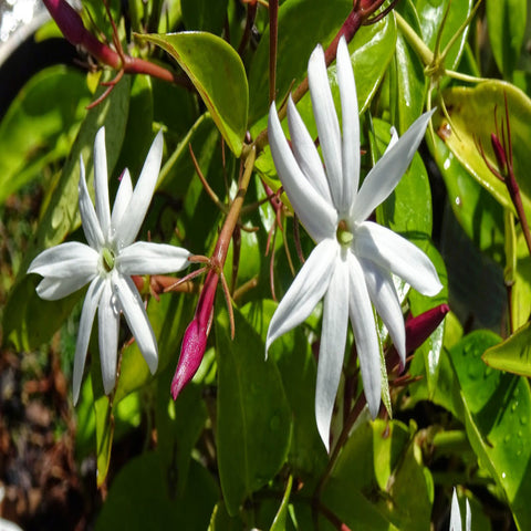 Angel wing jasmine  - Creepers & Climbers - Exotic Flora