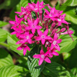 Pentas Dark Pink - Flowering Plants