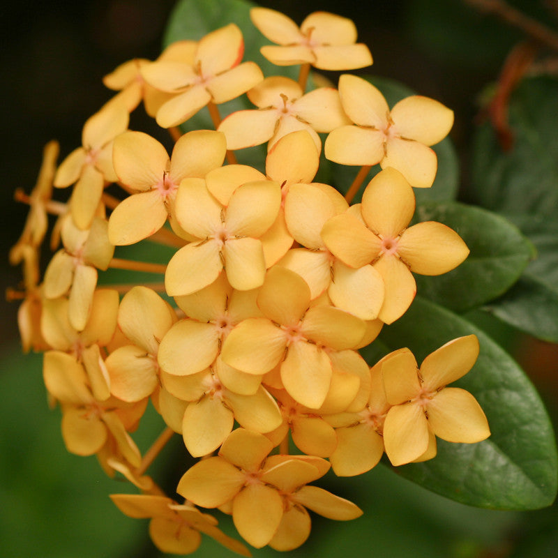 Ixora Semi Dwarf Yellow Exotica - Flowering Shrubs