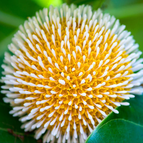Kadamba - Top Perfuming - Fragrant Plants