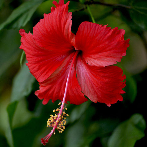 Hibiscus Red Desi - Flowering Plants