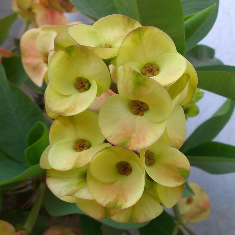 Euphorbia milii/Crown Of Thorns New Hybrids Yellow - Cacti & Succulant