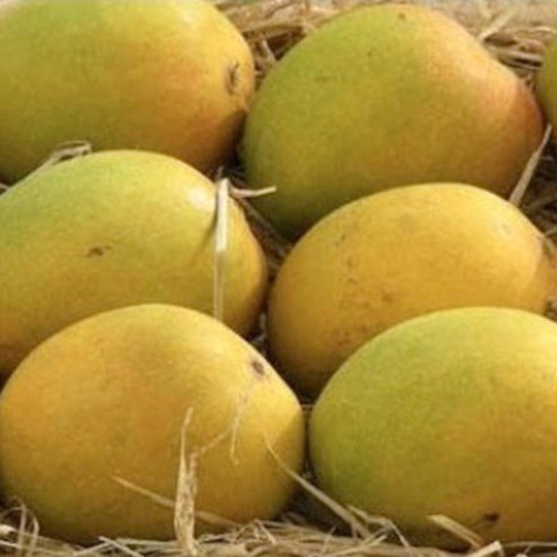 Mango Sugar Candy (Grafted) - Big Size Plants