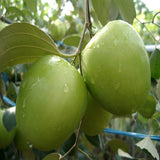 Indian Jujube Apple(Grafted) -Fruit Plants & Tree