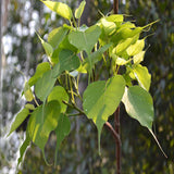Ficus Religiosa/Peepal Tree - Avenue Trees - Exotic Flora