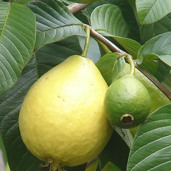 Guava Red Flesh Grafted Fruit Plants Amp Tree Exotic Space
