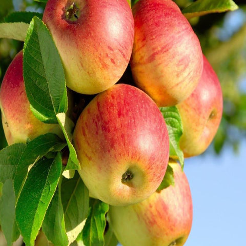 Apple Gold (Grafted) - Fruit Plants & Tree