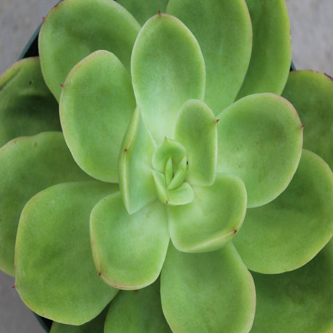 Echeveria Green Spoon -Gift Plants - Exotic Flora