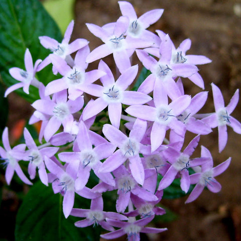 Pentas Violet - Flowering Plants