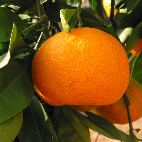 Orange-Kinnow(Grafted)- Fruit Plants & Tree