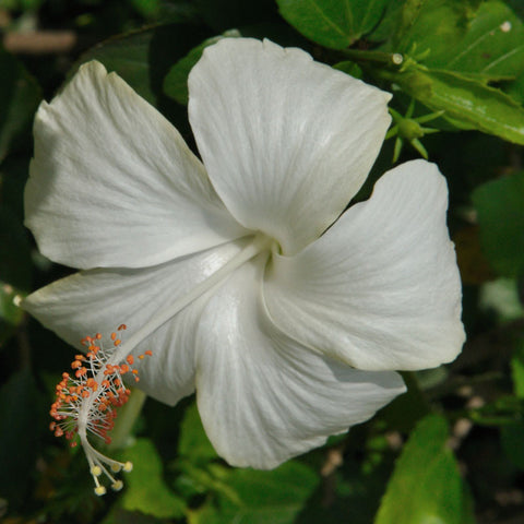 Hibiscus White  - Flowering Plants