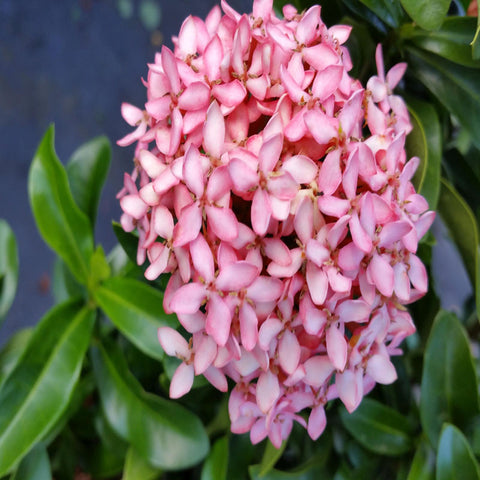 Ixora Mini Dwarf Pink - Flowering Shrubs