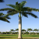Royal Bottle Palm - Palms