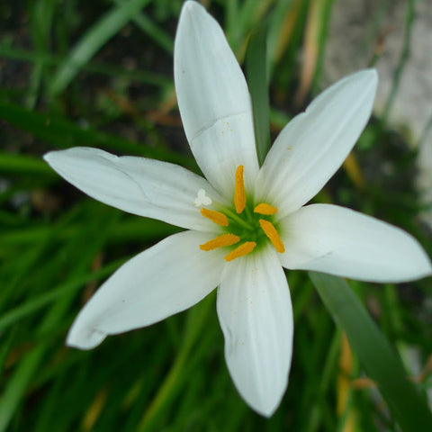 Rain lily  White - Flowering Plants