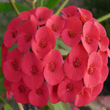 Euphorbia milii/Crown Of Thorns New Hybrids Red- Cacti & Succulant