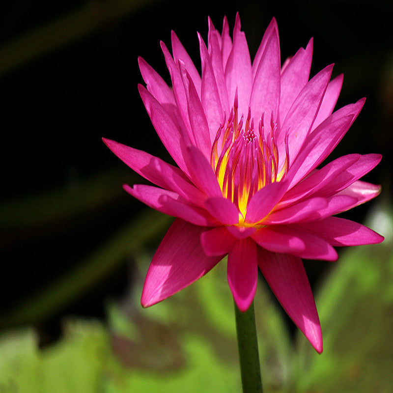 Kamal Water Lily  Dark Pink - Aquatic Plants