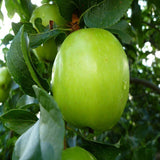 Apple Green (Grafted) - Fruit Plants & Tree