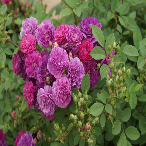 Miniature ROSE-Purple - Flowering Plants