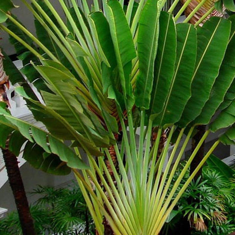 Traveller Palm - Palms