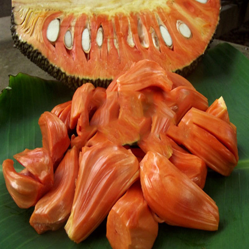 Jack Fruit Red/Red panasa (Grafted)- Fruit Plants & Tree