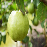 Thailand-Guava (Grafted) - Fruit Plants & Tree