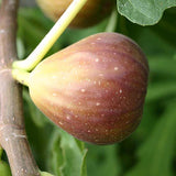 Fig-Puna-Fig(Grafted)- Fruit Plants & Tree - Exotic Flora