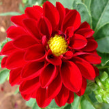Dahlia Dwarf Red - SEASONALS - Exotic Flora