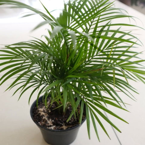 Chamaedorea Seifrizii Or Bamboo Palm - Indoor Air-Purifying - Exotic Flora