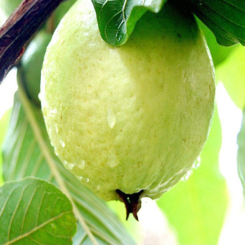 Guava-Lucknow-49 - Fruit Plants & Tree | Exotic Flora